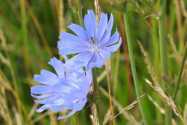 modré květiny, včelka